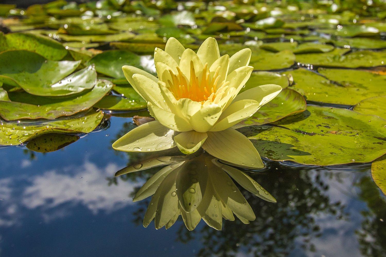 Wintering Water Lilies